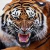 TigerGrowl